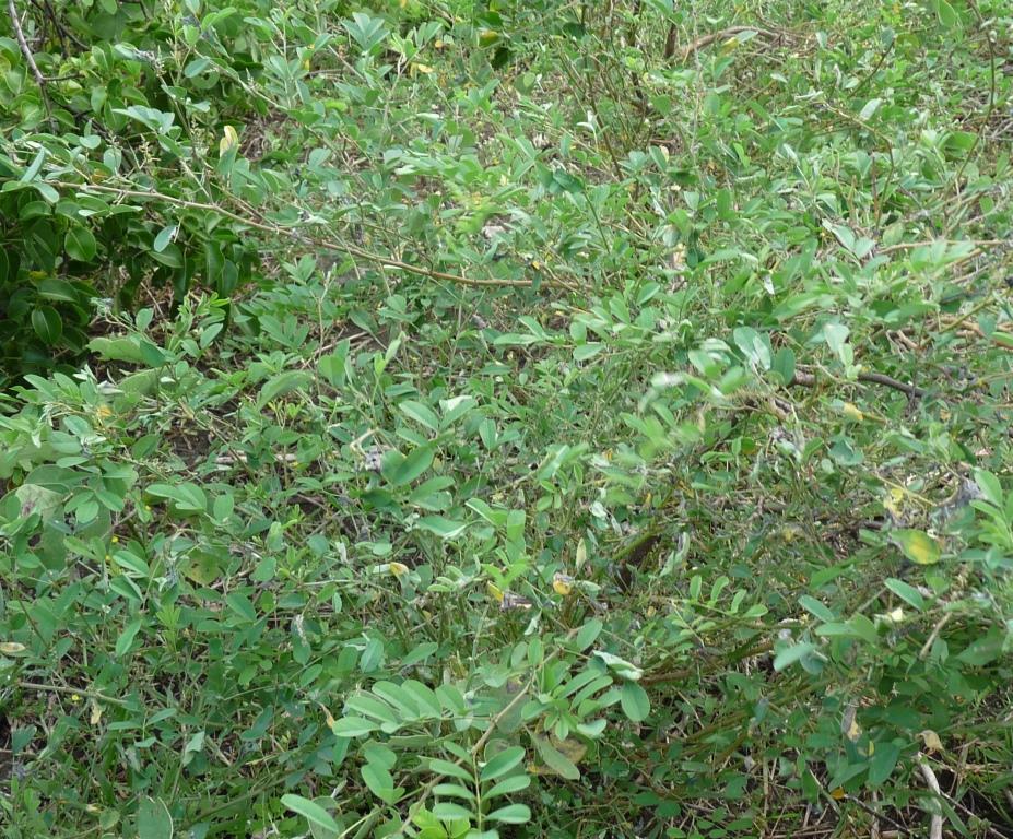 Indigofera tinctoria L. - feuille/leaf - ©GREEN'ING